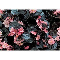 Бегония вечноцветущая Inferno Rose with Bronze Foliage F1, Sakata