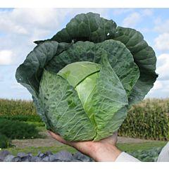 СИР F1 / SIR F1 - капуста белокочанная, Clause (Agrolife)