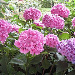 Гортензия Bouqet Rose, 1 корень, Florium