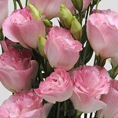 Эустома ABC 2 F1 Розовый Туман, Pan American (Садыба Центр)