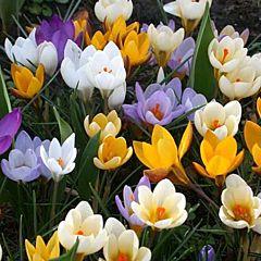 Крокус Ботанический Микс,  Florium