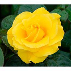 Саженцы роз полиантовая Golden Wedding (Голден Веддинг)
