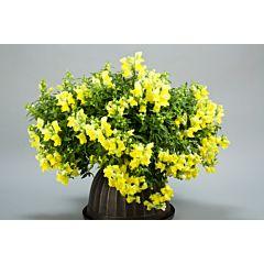 Антирринум (львиный зев) Candy Showers Yellow F1, Sakata