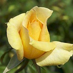 Роза чайно-гибридная Казанова (Професійне насіння)