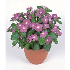 Барвинок розовый Victory Lavender, Sakata