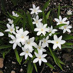 Хионодокса Luciliae Alba,  Florium