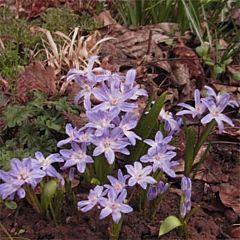 Хионодокса Violet Beauty,  Florium