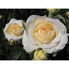 Роза чайно-гибридная Шопен (Професійне насіння)