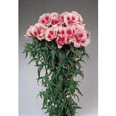 Кларкия Grace Rose Pink F1, Sakata