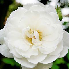Саженцы роз плетистая Iceberg (Айсберг)