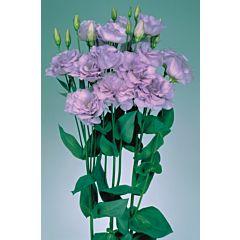 Роза (Эустома) Echo Lavender F1, Sakata