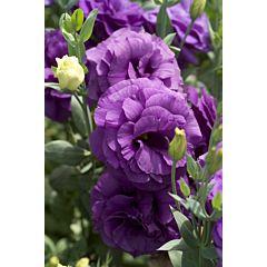 Роза (Эустома) Mariachi® Blue F1, Sakata