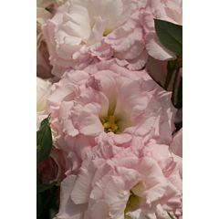 Роза (Эустома) Mariachi® Misty Pink F1, Sakata