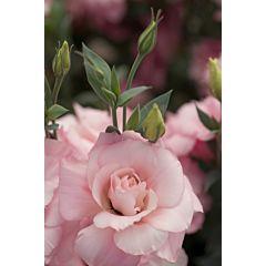 Роза (Эустома) Mariachi® Pink F1, Sakata