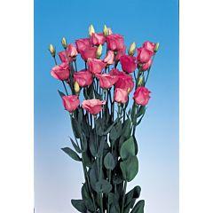 Роза (Эустома) Piccolo® 2 Rose Pink F1, Sakata