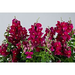Антирринум (львиный зев) Floral Showers Purple F1, Sakata