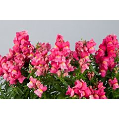 Антирринум (львиный зев) Floral Showers Rose F1, Sakata