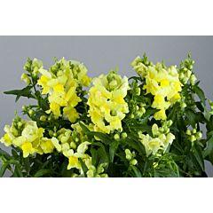Антирринум (львиный зев) Floral Showers Yellow F1, Sakata