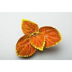 Колеус Fairway Orange, Sakata