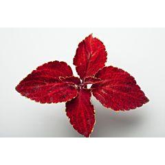 Колеус Fairway Red Velvet, Sakata