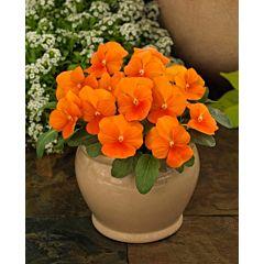 Фиалка рогатая Grandissimo Clear Orange F1, Sakata