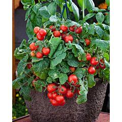 Томат декоративный Red Robin F1, Sakata