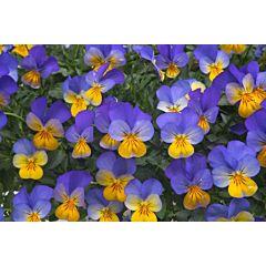 Фиалка рогатая Rebelina Early Flowering Blue & Yellow F1, Sakata