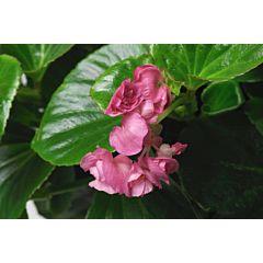 Бегония вечноцветущая Queen Pink F1, Sakata