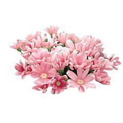 Цинерария Satellite Rose & Pink Shades, Sakata