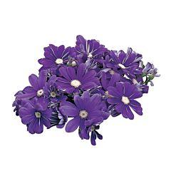 Цинерария Satellite Purple & Blue Shades, Sakata