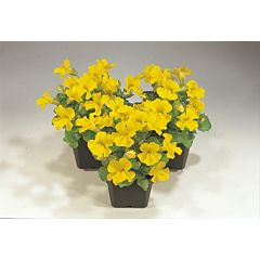 Мимулюс Mystic Yellow F1, Sakata