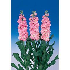 Маттиола(Левкой) Iron Pink, Sakata