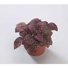Гипоэстес Confetti Compact Red, Sakata