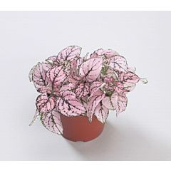 Гипоэстес Confetti Compact Pink, Sakata