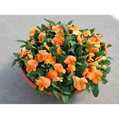 Фиалка рогатая Venus Orange F1, Sakata