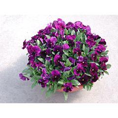 Фиалка рогатая Venus Purple F1, Sakata