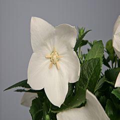 Платикодон Astra Pure White F1, Sakata