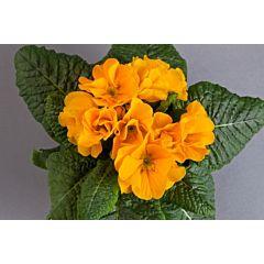 Примула Danova Orange Yellow F1, Sakata