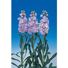 Маттиола(Левкой) Vivas Clear Lavender, Sakata