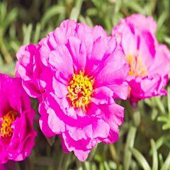 Портулак Sunseeker Light Pink F1, Sakata