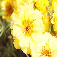 Портулак Sunseeker Yellow F1, Sakata