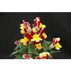 Антирринум (львиный зев) Floral Showers Red & Yellow Bicolour F1, Sakata
