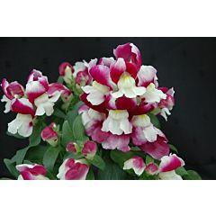 Антирринум (львиный зев) Floral Showers Wine Bicolour F1, Sakata