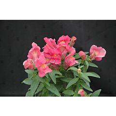 Антирринум (львиный зев) Floral Showers Rose Pink F1, Sakata