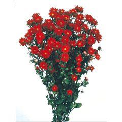 Астра китайская Serenade Red, Sakata