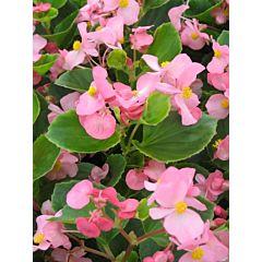Бегония вечноцветущая Ambassador Pink F1, Sakata