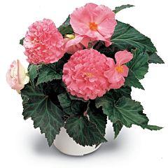 Бегония клубневая Fortune Pink F1, Sakata