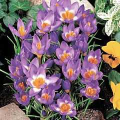 Крокус Tricolor,  Florium