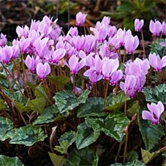 Цикламен садовый Hederifolium,  Florium