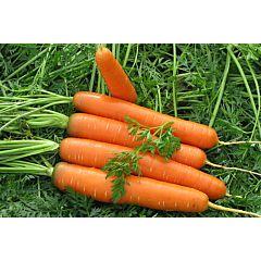 САТУРНО F1 / SATURNO F1 - морковь, Clause (Agrolife)